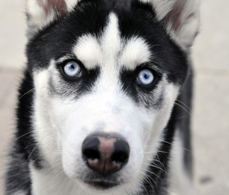 Closeup of Husky eyes