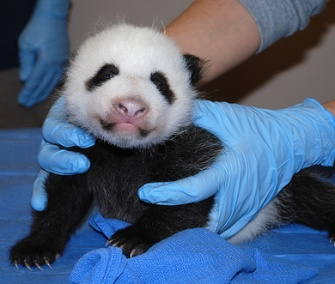 Mei Xiang's 2-month-old female cub is thriving at the National Zoo.
