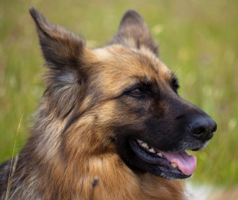 Closeup of Furry German Shepherd