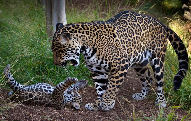 Jaguar cub at San Diego Zoo