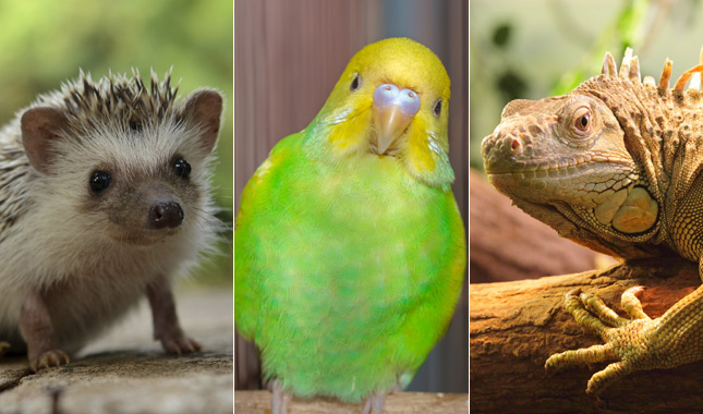 Exotic pets: parakeet, hedgehog and iguana