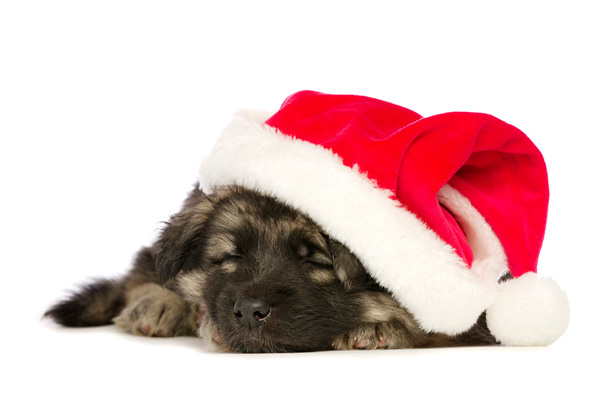 German Shepherd Dog puppy with Christmas hat