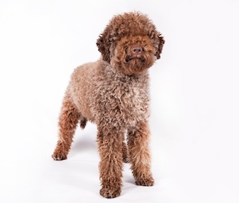 The Lagotto Romagnolo from Italy is one of three breeds newly recognized by the American Kennel Club.