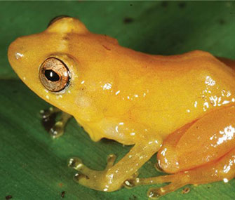 The Yellow Dyer Rain Frog is among the newly discovered species.