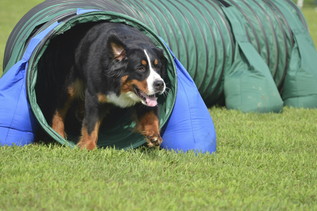 Dog going through tunnel of agility course