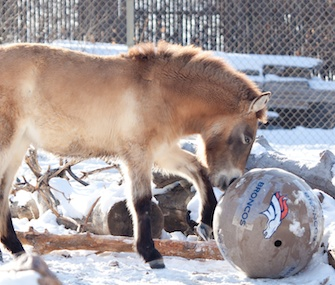A horse at the Denver Zoo plays with a Broncos ball.