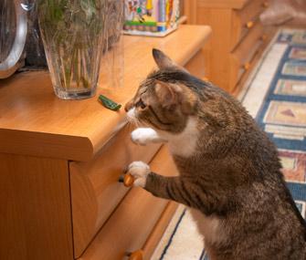 Curious cat climbing dresser