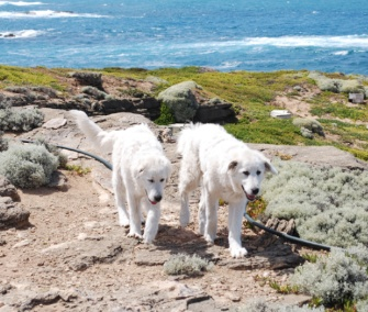 Two Maremma sheepdogs have helped keep foxes from endangered penguins on an Australian island.