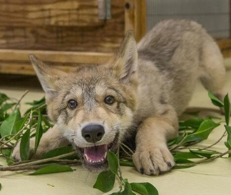 Shadow, a gray wolf pup, will be an animal ambassador at the San Diego Zoo.