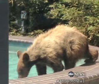A bear goes for a swim in an LA pool.