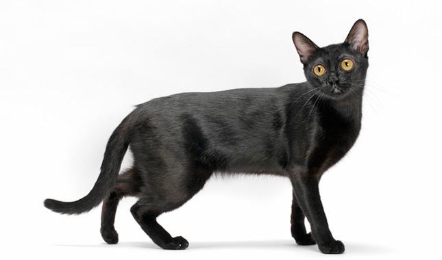 Bombay Cat Breed Information