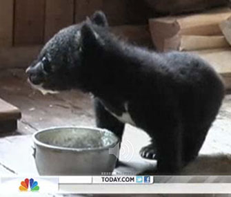 Two orphaned cubs are being cared for by a forester in Russia.