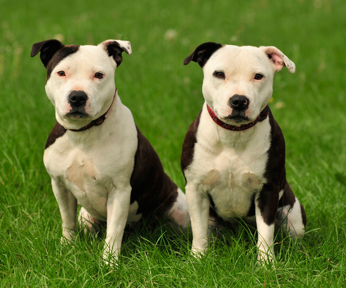 Two American Staffordshire Terriers Sitting in Grass