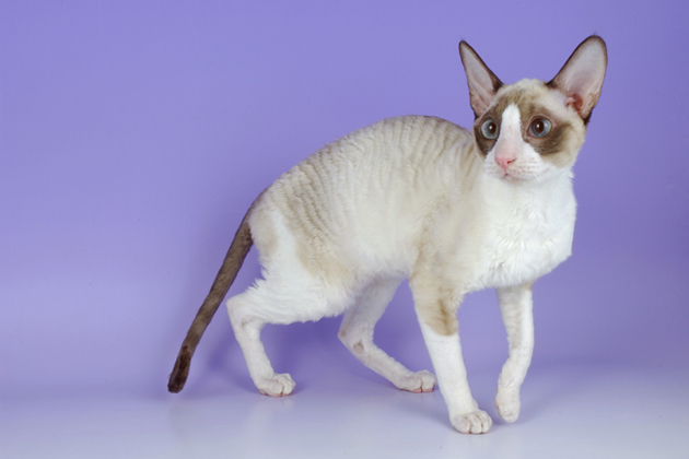 Cornish Rex  Kitty Comedian