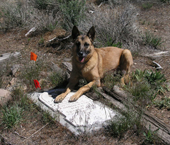 Human Remains Detection dog