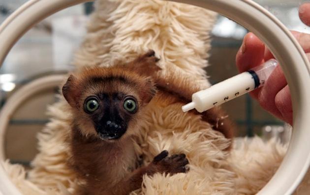 Rare blue-eyed lemur