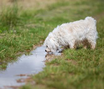 Dog drinking from stream