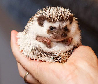 Hedgehog in Hand