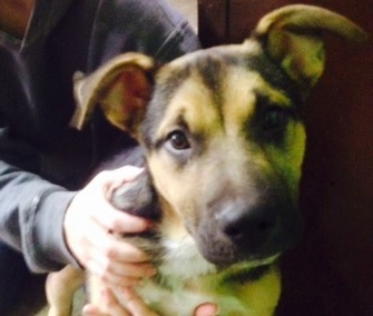 A 5-month-old Shepherd mix puppy was rescued from a dumpster in Indiana.