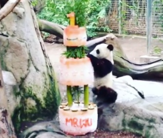 The San Diego Zoo celebrated Xiao Liwu's first birthday on Monday.