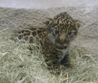 An adorable 2-week-old jaguar cub made its debut at the San Diego Zoo Saturday.