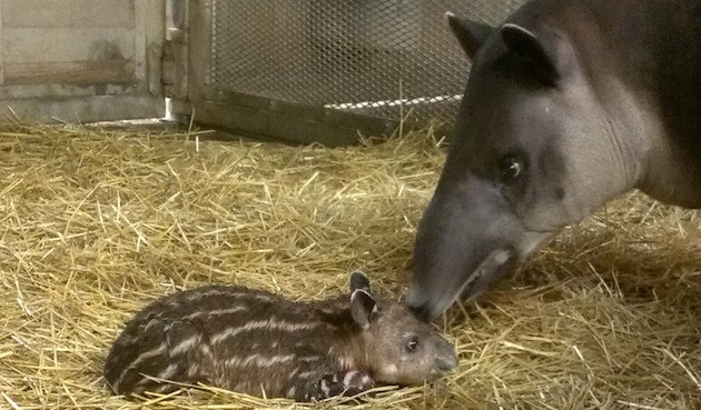 Baby bairds tapir at Franklin Park Zoo