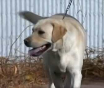 Reggie, a yellow Lab, is recovering from surgery after eating science project created with pins and chocolate.