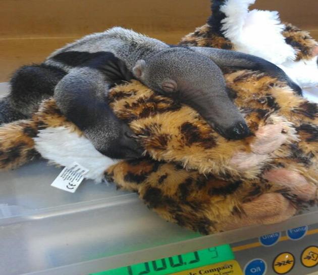 anteater sleeping