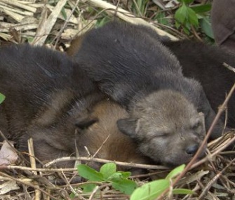 A captive-born red wolf pup has been placed with a wild litter.