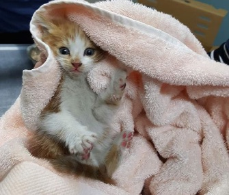 A five-week-old kitten was named Honda after she was found in a car engine.