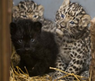 Amur Leopard cubs born at the Prague Zoo