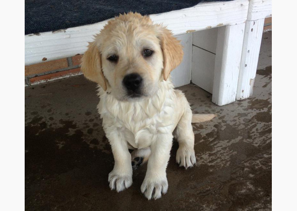 Benito the English Lab puppy poses for the camera after swimming in the pool for the first time