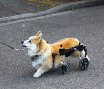 Wheelchair-bound dog taking a walk