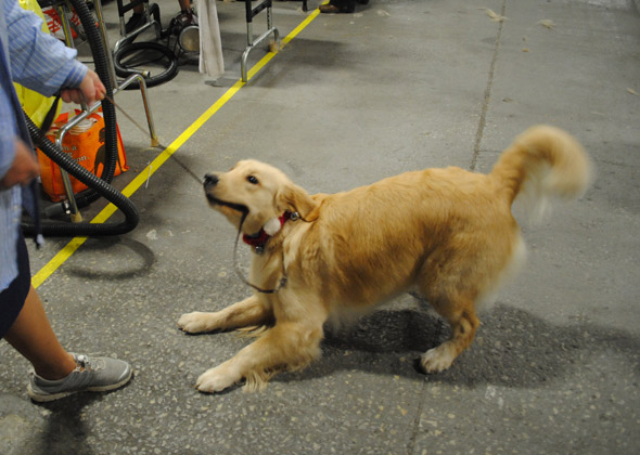 Golden Retriever playing at National Dog Show