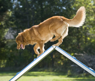 Dog competing in agility