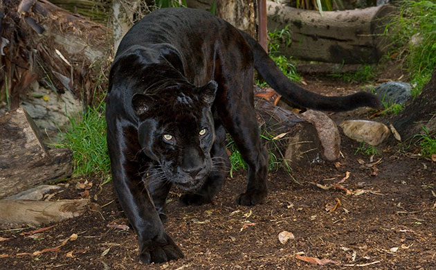 Orson the jaguar is on the prowl in his San Diego Zoo enclosure.