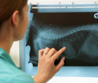 Vet examining x-ray
