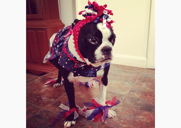 Instagrammed Boston Terrier