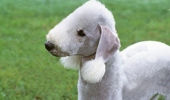 bedlington terrier breed information