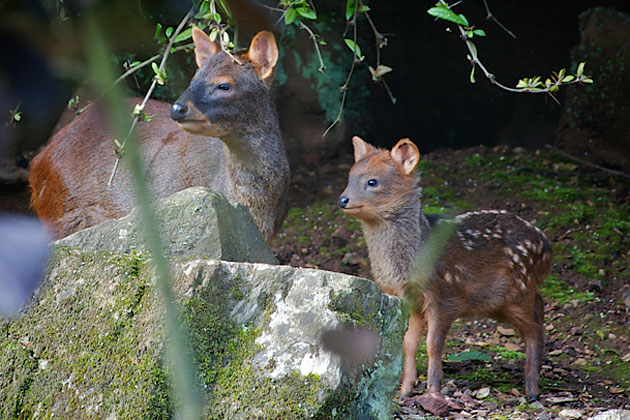 Pudu fawn and mother