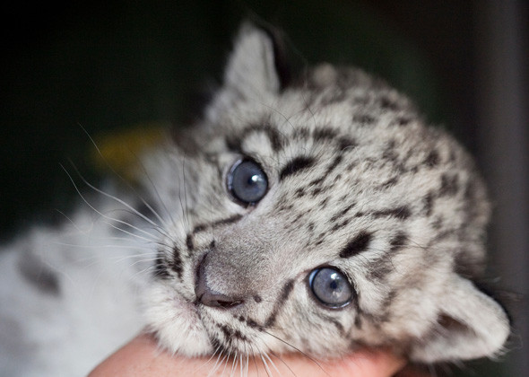 Cute baby snow leopard cubs - photo#3