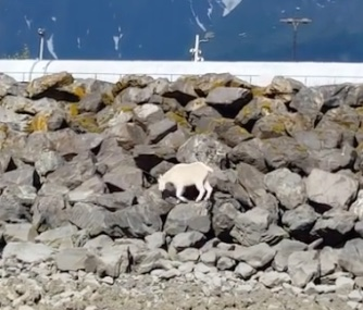 A lost mountain goat wandered on rocks in Seward, Alaska, before heading into the ocean.