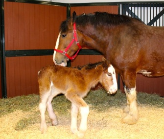 Mac, a Budweiser Clydesdale, was born Tuesday at Warm Springs Ranch in Missouri.