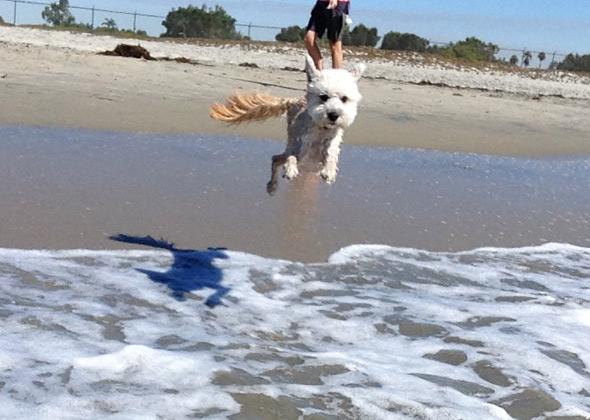 Jake the Wheaten-Poodle Mix at Coronado Beach