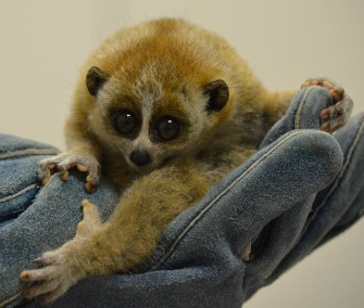 A pygmy slow loris was born at the Akron Zoo in August.