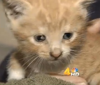A kitten was named Survivor after he was freed from the apartment building wall where he was stuck for a week.