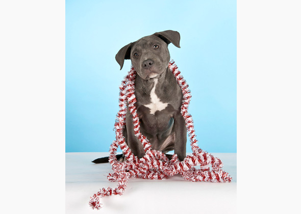 American Staffordshire Terrier wearing Christmas garland