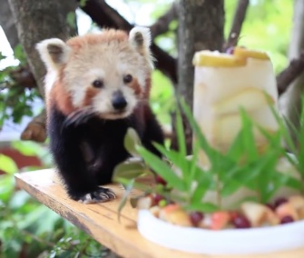 Chori the red panda got a delicious fruit and bamboo cake for her 16th birthday.