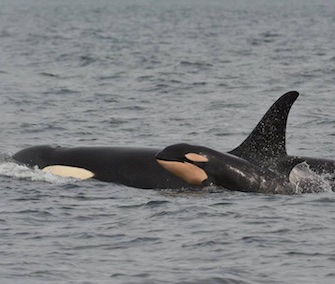 The fourth baby orca of the season was spotted Monday in Washington's Puget Sound.