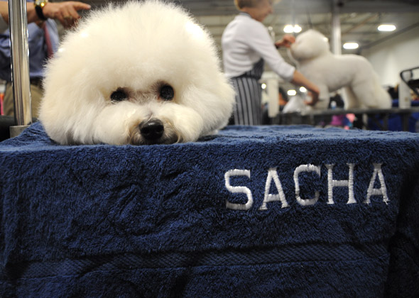 Sacha the Bichon